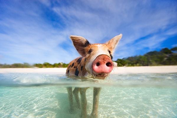 little piglet in water in Bahamas