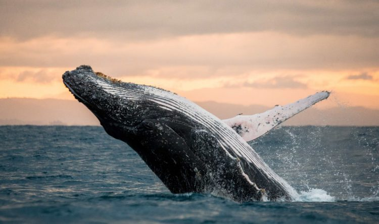 humpback whale breaching out of water at sunset