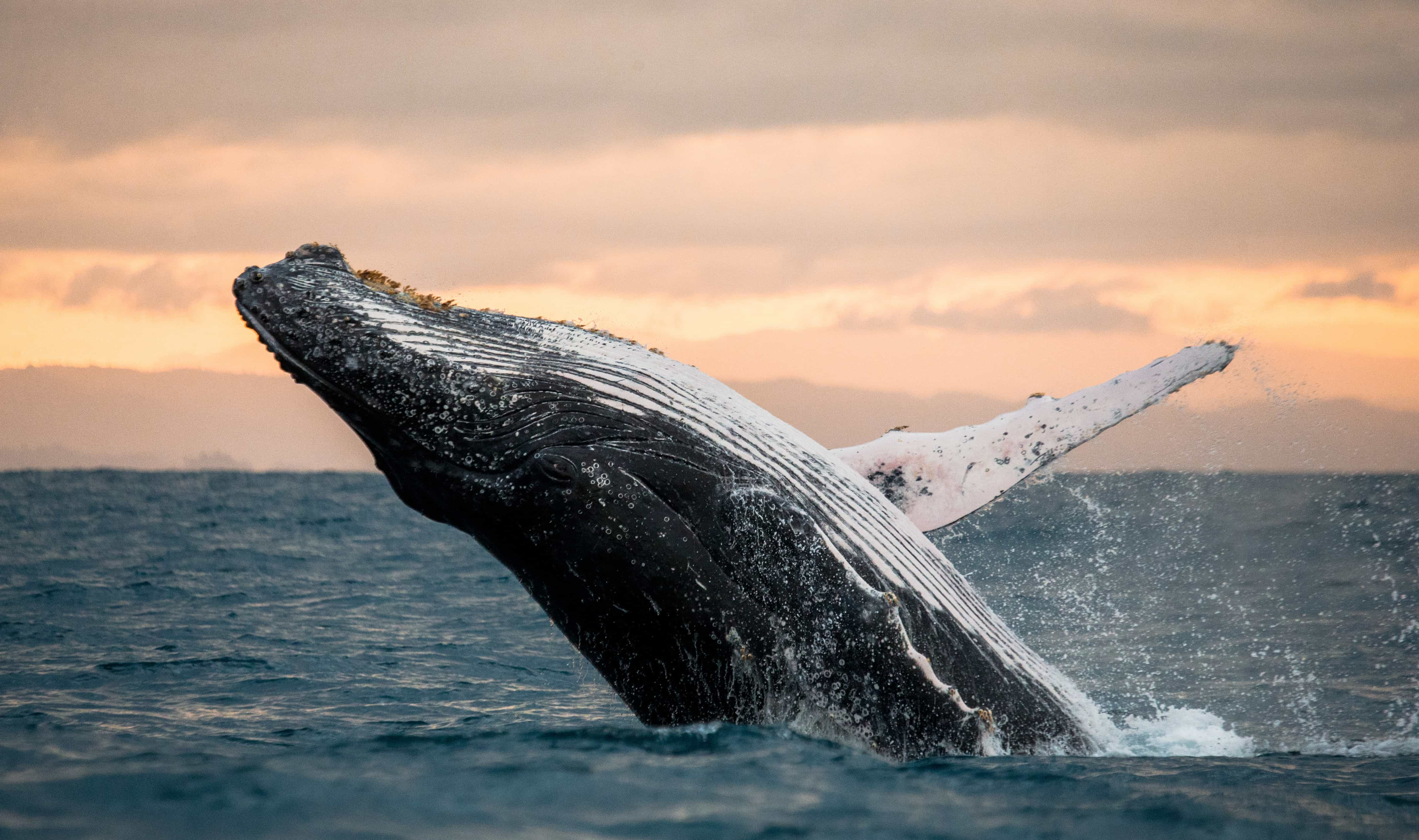 humpback whale breaching at sunrise