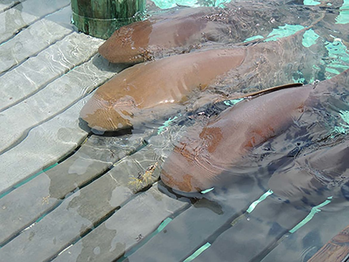 Gentle nurse sharks you can visit and feed during your Exumas yacht charter