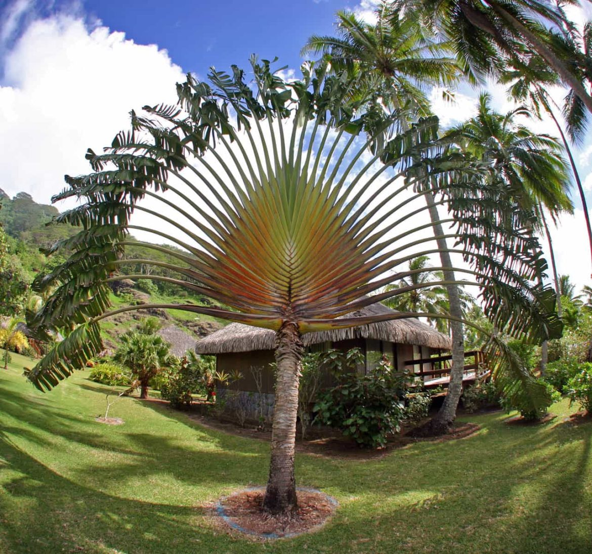 Beautiful paln trees surrounding a thatch roof cabin in French Polynesia