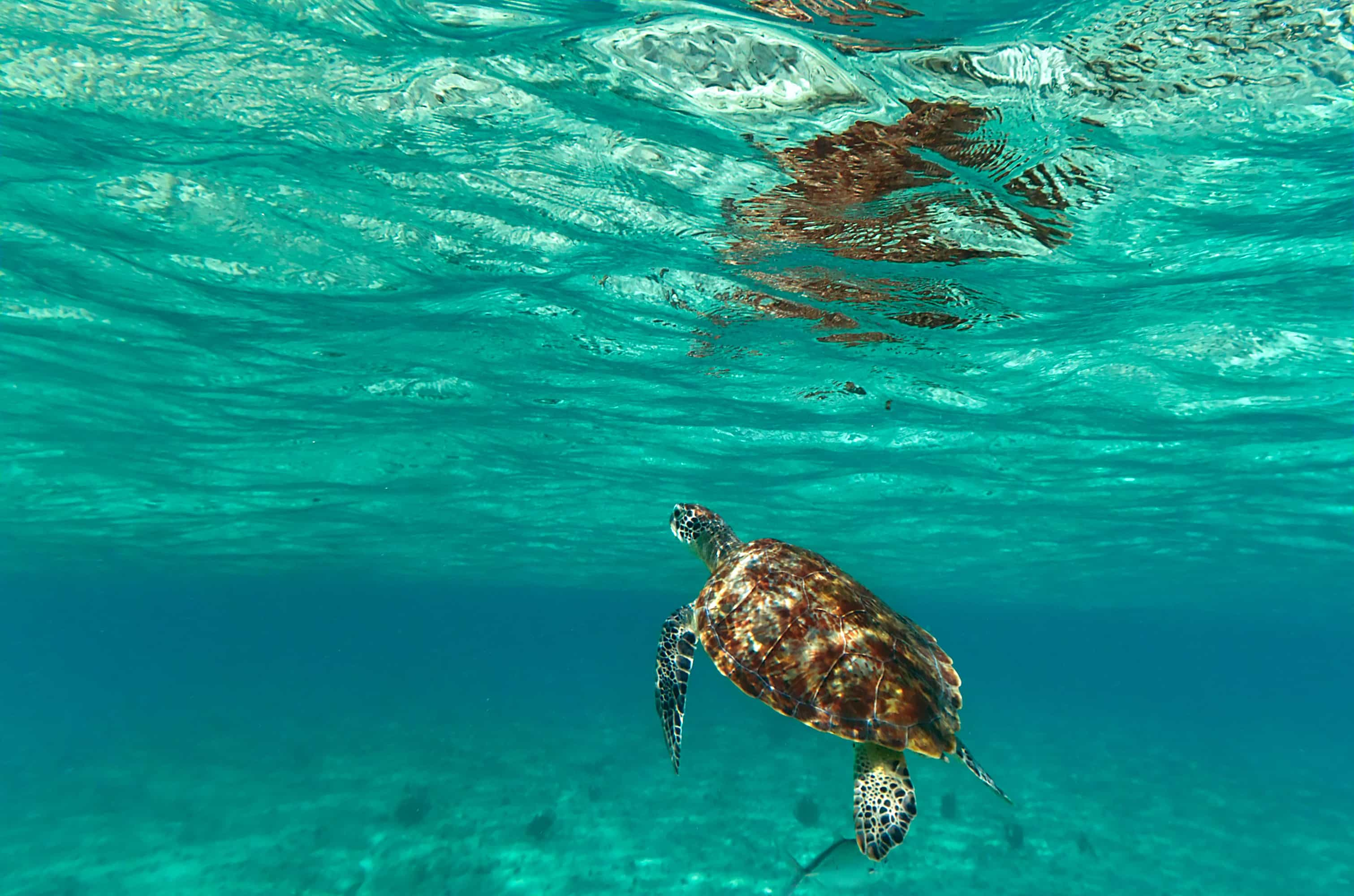under water shot of sea turtle in Mexico for winter escape