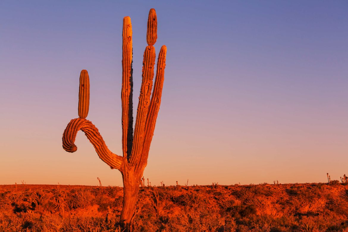 Cactus in the Mexican desert