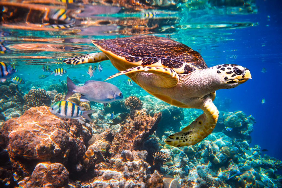 underwater photo of turtle with exotic fish in the background
