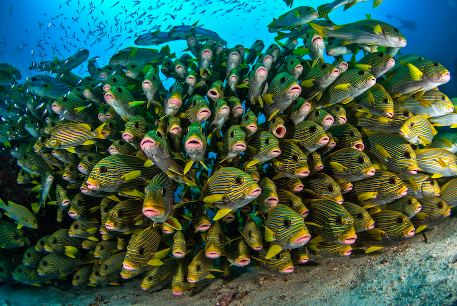 A colorful school of fish in the pristine waters of the Coral Triangle