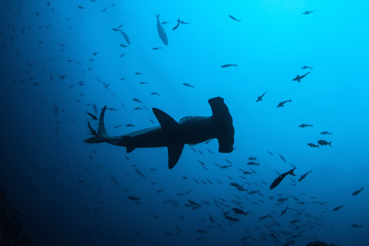 Hammerhead shark and a school of fish seen from below. You'll want to try diving on your Costa Rica yacht charter.