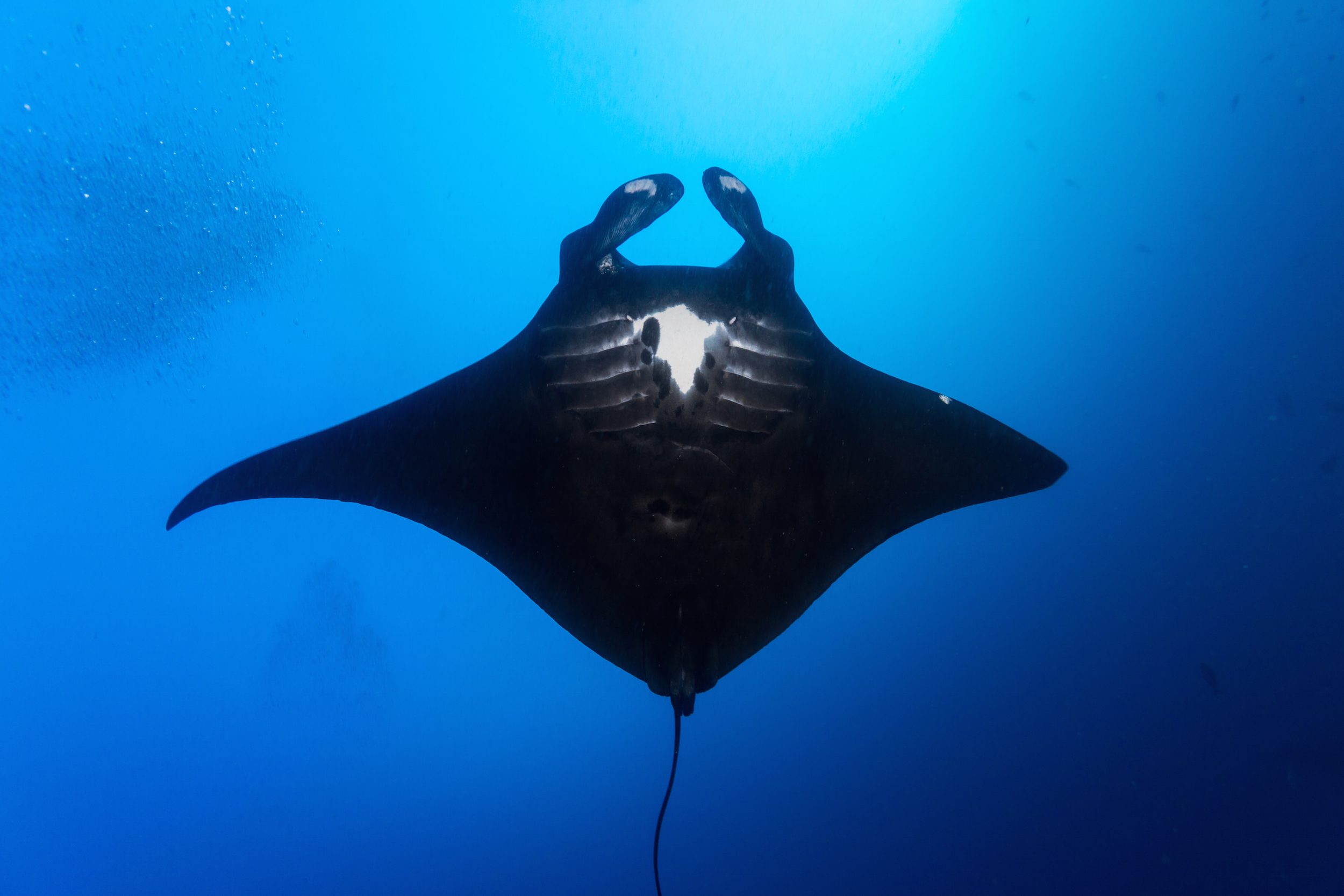 close up of manta ray in blue ocean