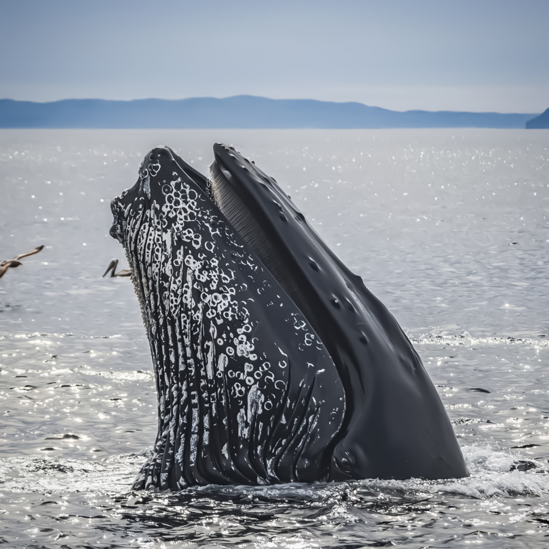 close up of a humback whale's face in ocean