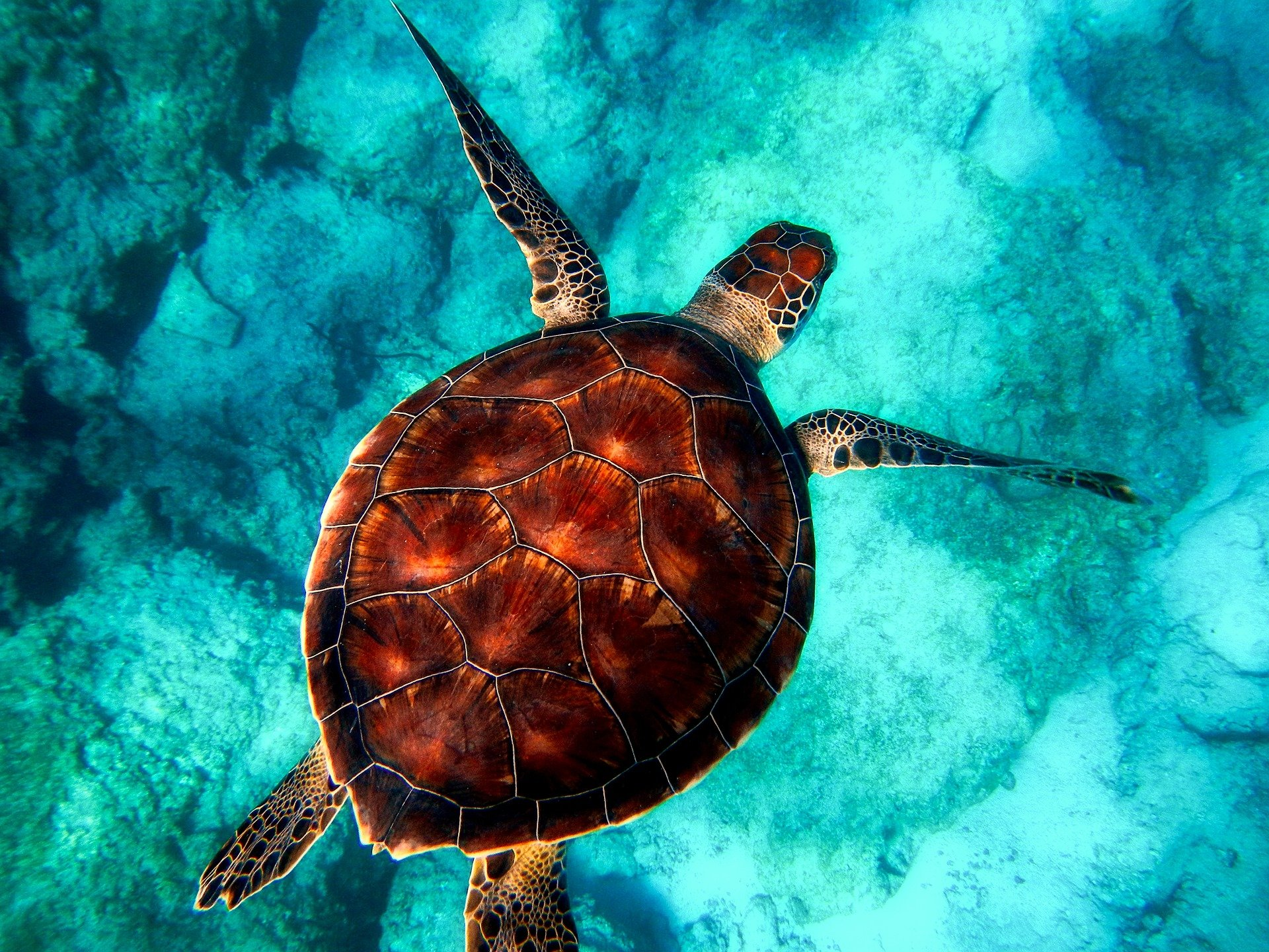 aerial view of sea turtle swimming under turquoise waters