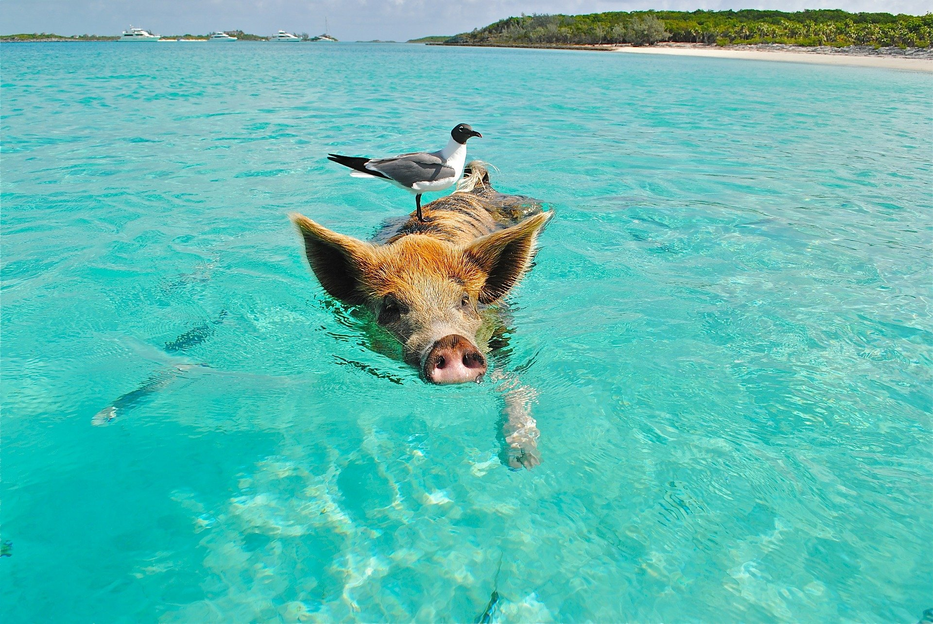 pig swimming with bird on its back in Exumas